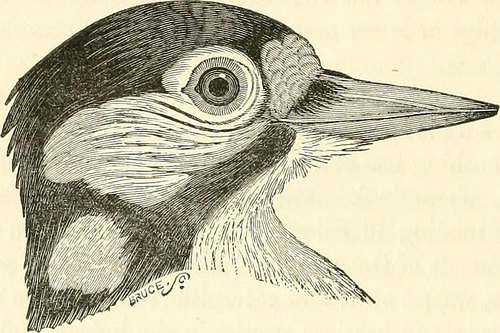 """Image from page 101 of """"A history of British birds, indigenous and migratory: including their organization, habits, and relations; remarks on classification and nomenclature; an account of the principal organs of birds, and observations relative to practi"""